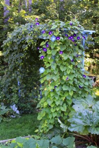 Hops and Morning Glories